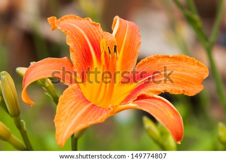 bright orange flowers  of lily with to the garden