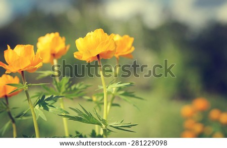 Bright orange flowers on a meadow. Shallow depth of field - stock photo