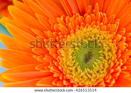 Bright Orange Gerber flowers background.natural light