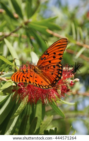 Bright orange gulf fritillary butterfly on a red flower with green leaves in background.