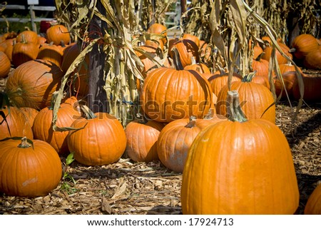 Bright orange large pumpkins in pumpkin patch waiting to be sold