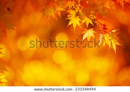 Bright orange maple leafs in mid autumn sunset.  - stock photo