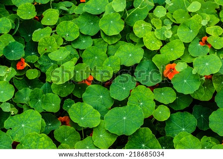Bright orange nasturtium flowers and leaves in early summer - stock photo