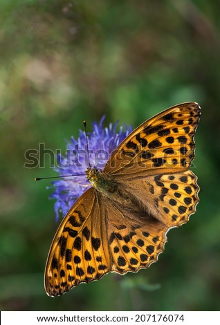 Bright, orange Silver-washed Fritillary, a large butterfly of the family Nymphalidae, sitting on a Knautia flower - stock photo