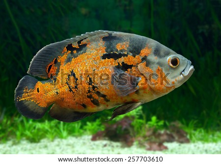 Bright Oscar Fish - South American freshwater fish from the cichlid family, known under a variety of common names including oscar, tiger oscar, velvet cichlid, or marble cichlid.  - stock photo