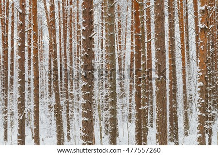 Bright pine tree trunks covered with snow, winter background