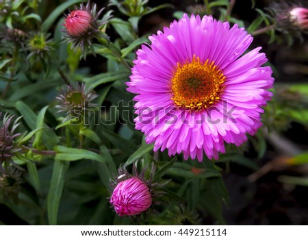 Bright pink asters flower and small buds on the background of lush greenery - stock photo