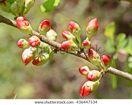 Bright pink buds of a quince close up. Macro, small depth of sharpness. Buds are lit with a sunlight on an indistinct light  background. - stock photo