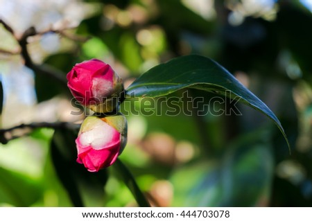 Bright pink camellia buds surrounded with lush foliage on the background. Camellia Japonica flower on sunny day - stock photo