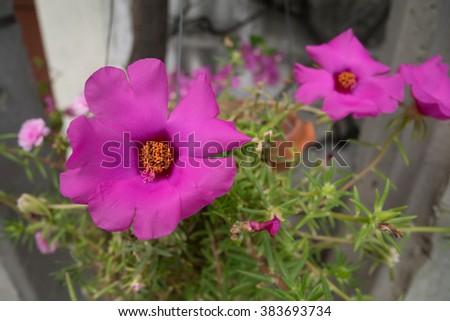 Bright pink Common Purslane or 11 o'clock or Verdolaga in a hanging pot - close up in a bright and shiny day - stock photo