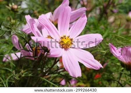 Bright pink cosmos flower with golden yellow stamen in detail - stock photo