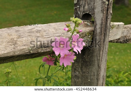 Bright pink flowers growing through a rail fence in Vermont