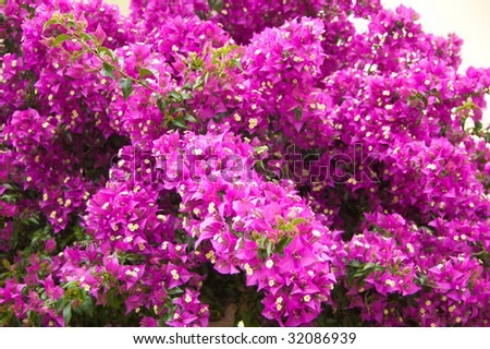 Bright pink flowers bougainvillea turkey stock photo royalty free bright pink flowers of bougainvillea in turkey mightylinksfo