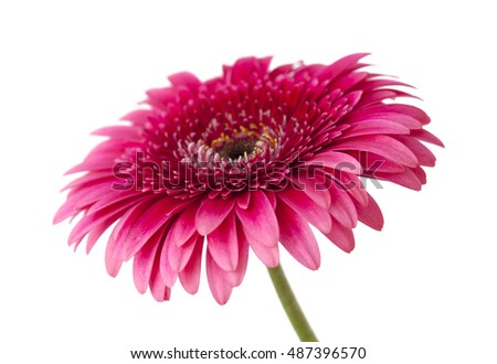 bright pink gerbera isolated on white background