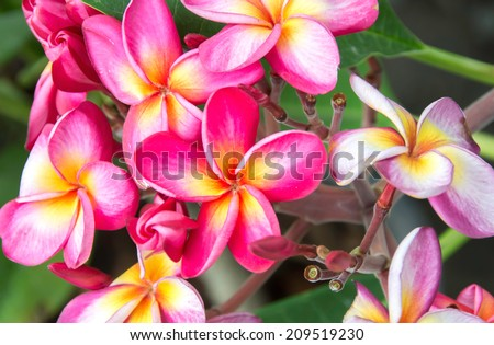 Bright pink plumeria blooms on tree