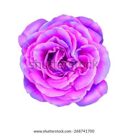 violet rose flower background wwwpixsharkcom images