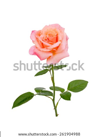 bright  pink rose is on  white background