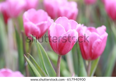 Bright Pink tulips blossoming in the garden.