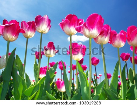 Bright pink tulips on background blue sky. Fresh spring composition - stock photo