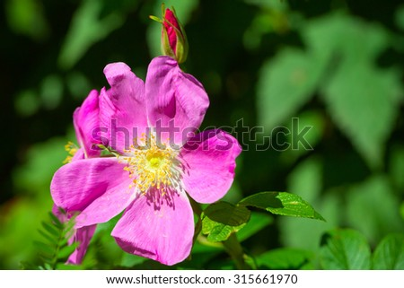 Bright pink wild dog-rose flower macro photo with selective focus - stock photo