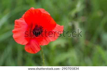 Bright poppy flower. - stock photo
