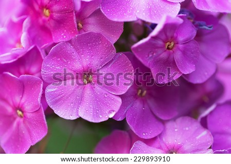 Bright purple garden phlox - stock photo