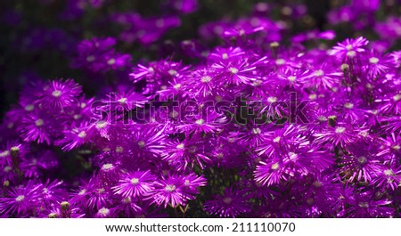 Bright purple ice plant flowers fading into blurred background - stock photo