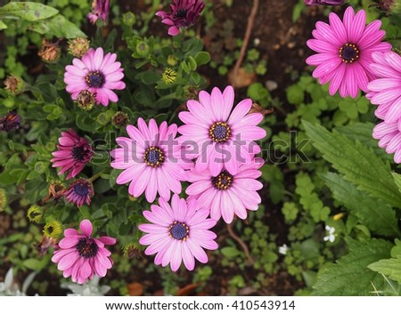 Bright purple pink daisy flower close up.(Selected focus) - stock photo