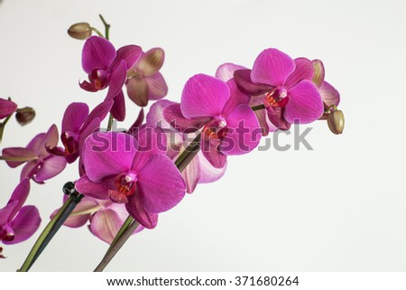 Bright purple, pink orchid on a white background
