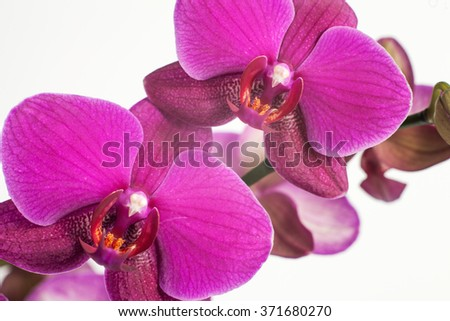 Bright purple, pink orchid on a white background. Macro flower