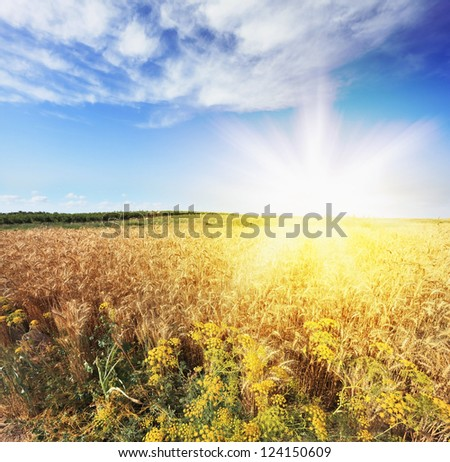 Bright rays of sunlight illuminate a field of ripe wheat
