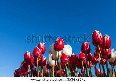 Bright red and white tulip flowers in spring with morning sunshine and a clear blue sky background. - stock photo