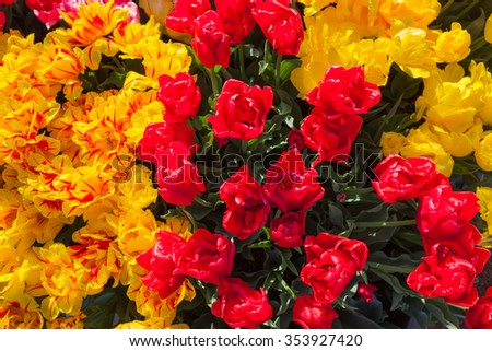 Bright red and yellow tulip flowers in spring at a family farm in Oregon. - stock photo