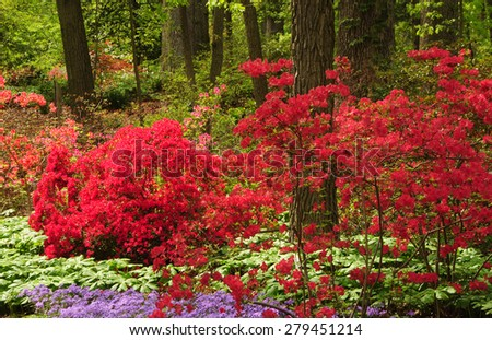 Bright red azaleas and pretty lavender phlox at National Arboretum in Washington, D.C. - stock photo