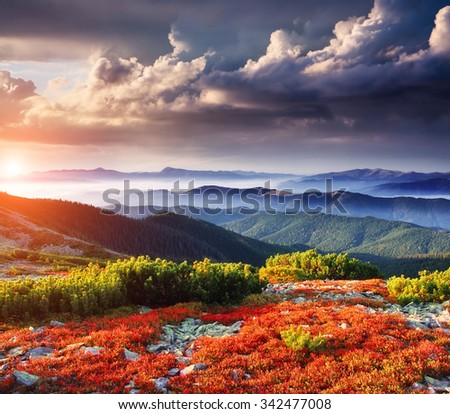 Bright red blueberry bushes glowing by sunlight. Dark overcast sky in the morning. Dramatic and picturesque scene. Location Carpathian, Ukraine, Europe. Beauty world. Instagram toning effect.