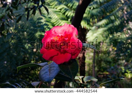 Bright red camellia flower in full bloom with a bee insect against exotic green foliage background. Red Camellia flower surrounded with tropical lush leaves. Close up, selective focus, space for text - stock photo