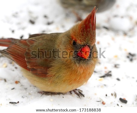 Bright red cardinal after snowstorm searching for food - stock photo
