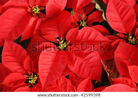 Bright red Christmas roses decoration