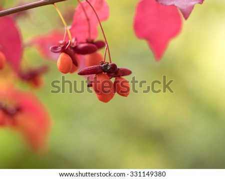 Bright red Euonymus alatus nut in autumn japan