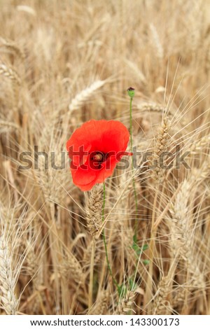 bright red flower of poppy among yellow wheat