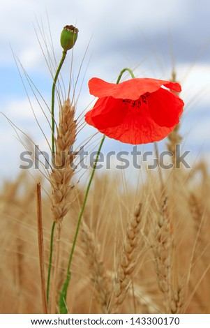 bright red flower of poppy among yellow wheat against the sky and clouds - stock photo