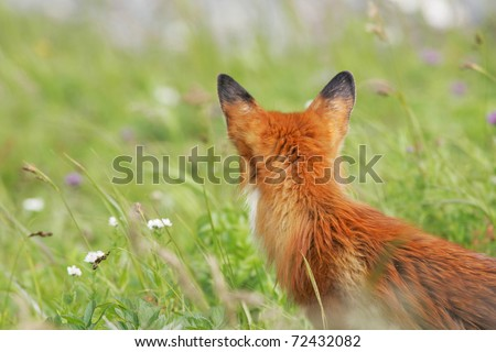 bright red fox in front of green grass, turned away from the camera - stock photo