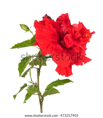 Bright red hibiscus with green leaves isolated over white background