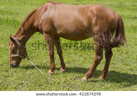 Bright red horse grazing on the spring meadow. A horse in the pasture. Home favorite eating green grass. - stock photo
