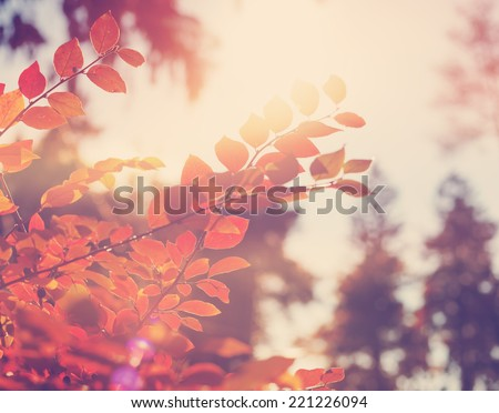 bright red leaves in soft focus, autumn background, very shallow focus  - stock photo