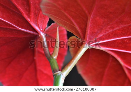 bright red leaves of the royal begonia