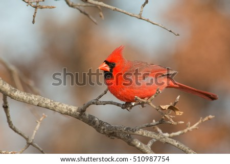 Bright red male Northern Cardinal perched in an Oak tree in winter
