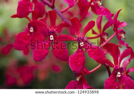 bright red orchids from National Orchid Garden of Singapore; focus on front flower - stock photo