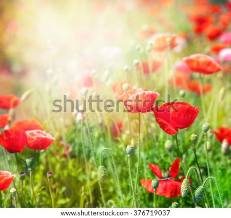bright red poppies, close-up, in a beautiful sunset light