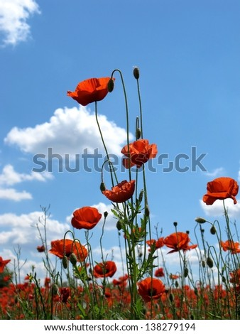 bright red poppies on blue sky background in spring